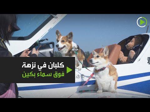 شاهد كلبان من سلالة كورغي ينضمان إلى مالكيهما في رحلة طيران فوق بكين