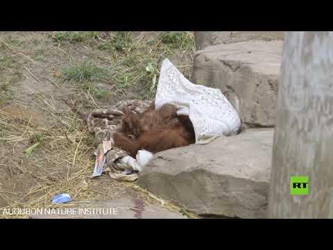 شاهد حديقة حيوان تشهد مولودا جديدا من إنسان الغاب المهدد بالانقراض