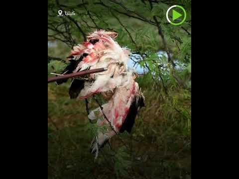 شاهد طيور النحام تلقى حتفها بيد المياه المرتفعة