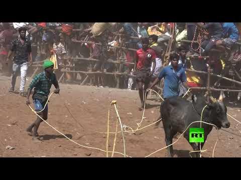 مهرجان ترويض الثيران في الهند