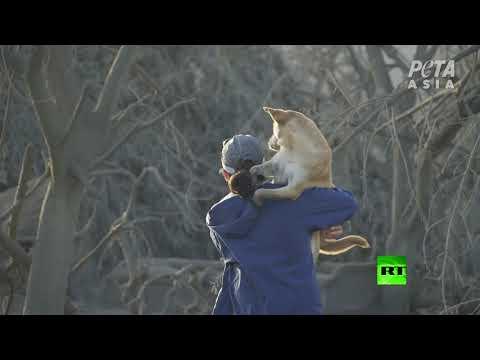 إنقاذ حيوانات عالقة بالقرب من بركان تال