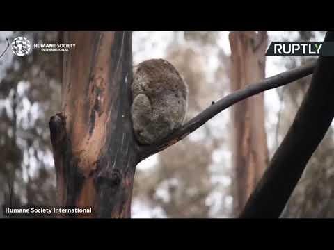 شاهد استمرار عمليات إنقاذ الحيوانات الناجية من الحرائق
