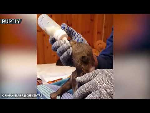 شاهد شبلان يتيمان من الدببة البنية يعثران على مأوى جديد متخصص