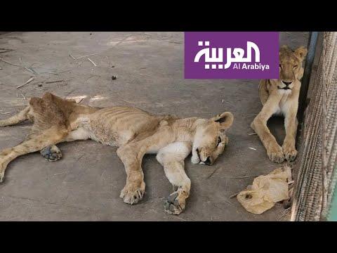 مشهد مؤلم لملك الغابة يترنح من الجوع في حديقة حيوان الخرطوم